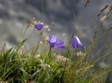Blue Flowers in Swiss Alps, Photo Print 8' x 6'