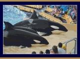 Killer Whales Cross Stitch