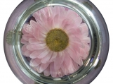 Real Dried Acroclinium Flower Round Glass Paperweight