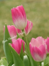 Pink Tulips 2 Original Prints