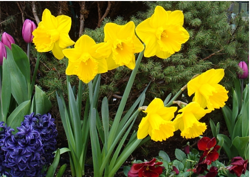 Yellow Daffodils by LisaGold for Daffodil Blooms contest